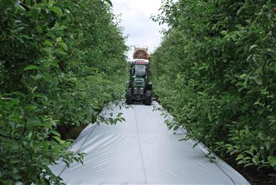 A tractor can easily ride on Lumilys® reflective groundcover, when installed in fruit orchards. 